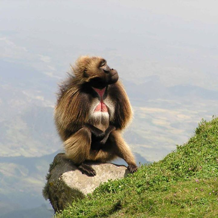 Gelada-Baboon-around-Debre-Libanos-Day-Trip-from-Addis-Ababa.jpg